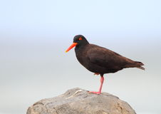 African Black Oystercatcher Stock Images