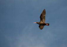 African Black Oystercatcher Stock Image