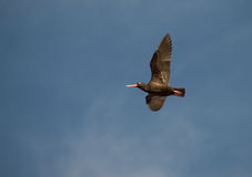 African Black Oystercatcher Royalty Free Stock Photo
