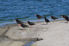 African Black Oystercatchers Royalty Free Stock Image
