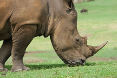 African black rhino Royalty Free Stock Photo