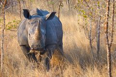 African black rhino Stock Images