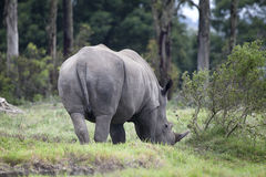 African black Rhino South African country sight Royalty Free Stock Photography