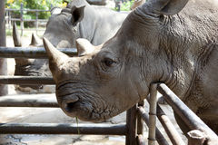 African black rhinoceros Royalty Free Stock Images