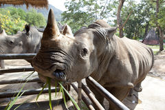 African black rhinoceros Stock Photography