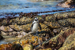 African black-white penguin Royalty Free Stock Image