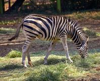An African black and white zebra royalty free stock photo