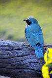 African blackbird Royalty Free Stock Photo