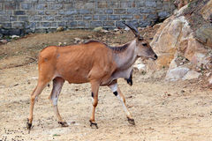 The African blesbok Stock Image