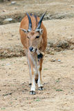 The African blesbok Stock Photos