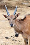 The African blesbok Royalty Free Stock Images