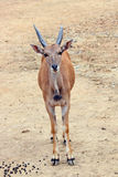 The African blesbok Royalty Free Stock Photography