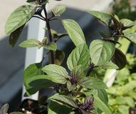 African blue basil (Ocimum kilimandscharicum × basilicum 'Dark Opal'). A sterile hybrid propagated by cuttings, with strong camphor scent (22 percent), leaves Royalty Free Stock Photo