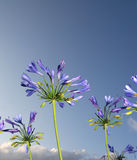 African blue lily Royalty Free Stock Photos