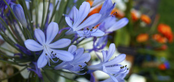 African Blue Lily Stock Photos
