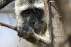 African Blue Monkey Face Stock Photography