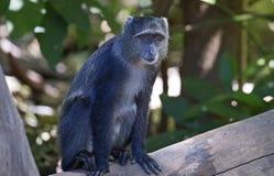 African blue monkey Stock Image