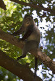 African blue monkey Stock Photography