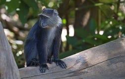 African blue monkey Royalty Free Stock Image