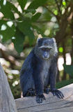 African blue monkey Stock Images