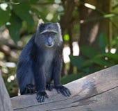 African blue monkey Royalty Free Stock Photo