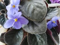 African blue violet royalty free stock photo