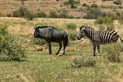 African blue wildebeest and zebra Stock Photo