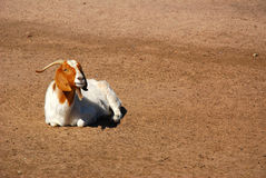 African Boer goat. A beautiful African Boer goat resting in the red soil of a farm outdoors in South Africa Stock Photography