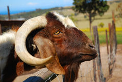 African Boer goat. Outdoor head profile portrait of a beautiful South African Boer goat on a farm in South Africa royalty free stock image