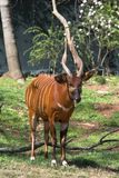 African Bongo. At local zoo Royalty Free Stock Image
