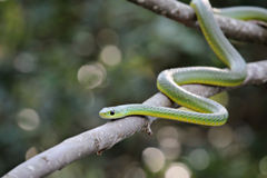 African boomslang (tree snake; Dispholidus typus) Royalty Free Stock Photo
