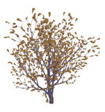 African boxwood tree, myrsine africana - 3D render Royalty Free Stock Images