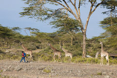 African boy passing giraffes Royalty Free Stock Image