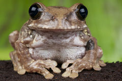 African broad mouth tree frog Royalty Free Stock Photo