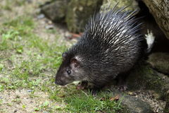 African brush-tailed porcupine Stock Photos