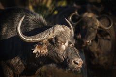 African Bufalo Royalty Free Stock Image