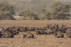African Buffakos in National Park Lake Manyara Royalty Free Stock Photography