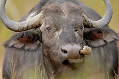 African buffalo. Portrait of an African buffalo with oxpecker bird feeding on ticks, Kruger National park, South Africa stock photo