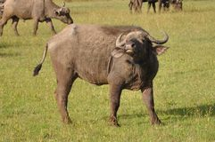 African buffalo Royalty Free Stock Image