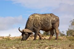 African Buffalo. African or Cape buffalo (Syncerus caffer) bull grazing in the Addo Elephant National Park, South Africa Royalty Free Stock Image