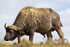 African Buffalo. African or Cape buffalo (Syncerus caffer) bull grazing in the Addo Elephant National Park, South Africa Stock Photography
