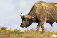 African Buffalo. African or Cape buffalo (Syncerus caffer) bull grazing in the Addo Elephant National Park, South Africa Stock Photos