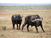 African buffalo. Kenia safari. Two buffaloes looking at the camera stock image