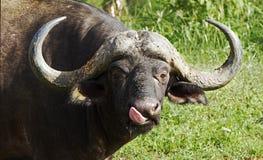 African buffalo Royalty Free Stock Photo