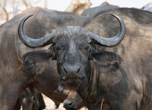 African buffalo. Portrait of African buffalo, Kruger NP stock photos
