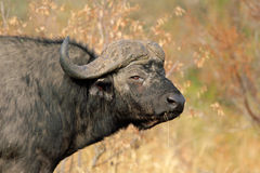 African buffalo. Portrait of an African buffalo (Syncerus caffer) , Kruger National Park, South Africa stock photos