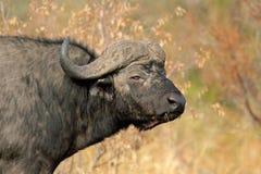 African buffalo Stock Photos