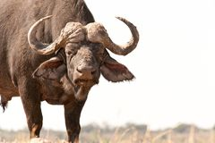 African Buffalo Royalty Free Stock Photo