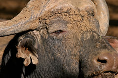 African buffalo. Portrait of an African buffalo bull (Syncerus caffer), South Africa stock image