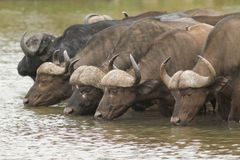 African Buffalo. Drinking and standing in water Royalty Free Stock Photography